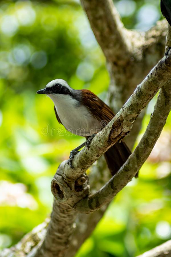 White-Crested Laughingthrush in Tree Looking Ahead. A stunning white-crested laughingthrush looks ahead while standing in a tree on a sunny day stock photo