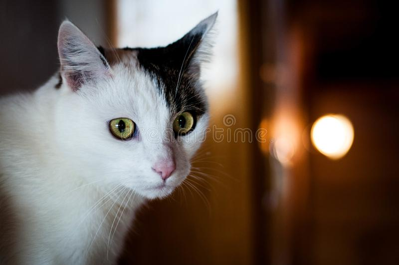 Cute white cat with black spot starring looking into the camera. Stunning white domestic cat with black spot and yellow eyes, looking into the camera royalty free stock image