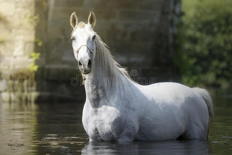 Stunning white horse in the river. White gorgeous horse standing in the middle of the river in a sunny summer day in Galicia, Spain royalty free stock image