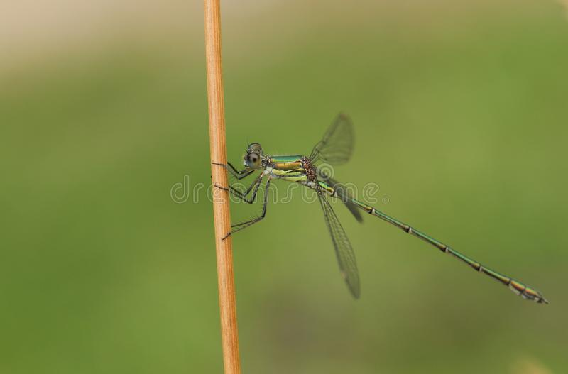 A stunning Willow Emerald Damselfly, Chalcolestes viridis, perched on grass stem at the edge of a lake. A Willow Emerald Damselfly, Chalcolestes viridis royalty free stock photo