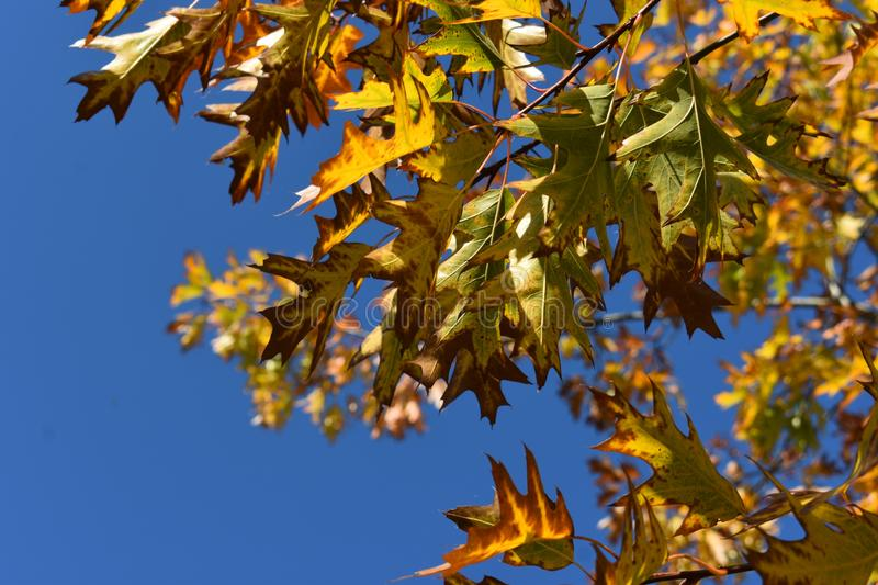 Yellow Fall / Autumnal Leaves royalty free stock images