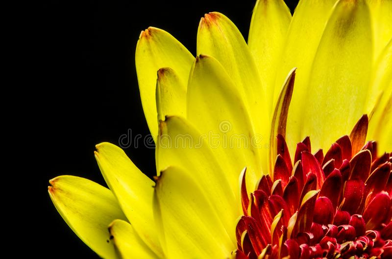 Vibrant yellow and red daisy shy in the corner. Stunning yellow and red daisy peeking through the corner to catch a glimpse of springtime stock image