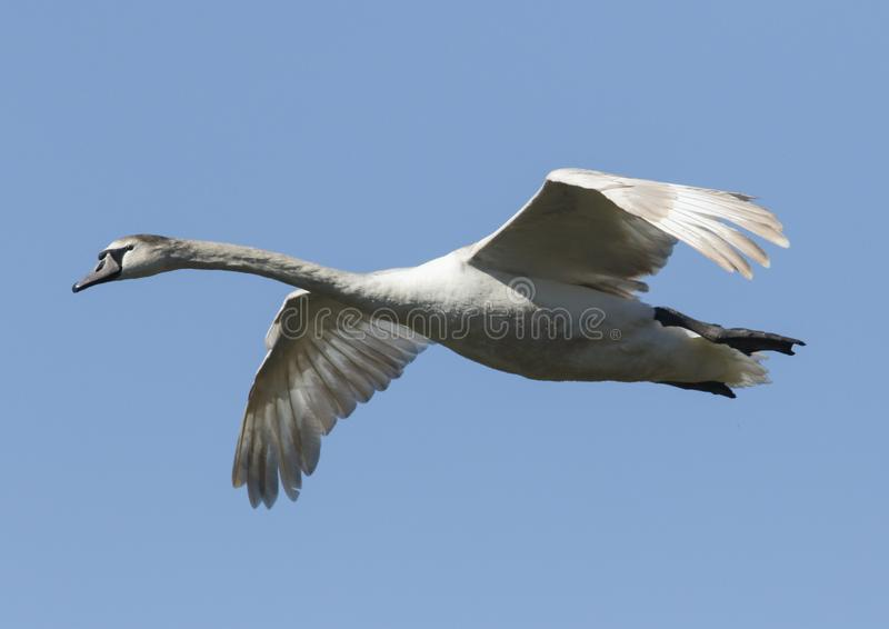 A pretty young Mute Swan Cygnus olor flying in the blue sky on a sunny day. stock images