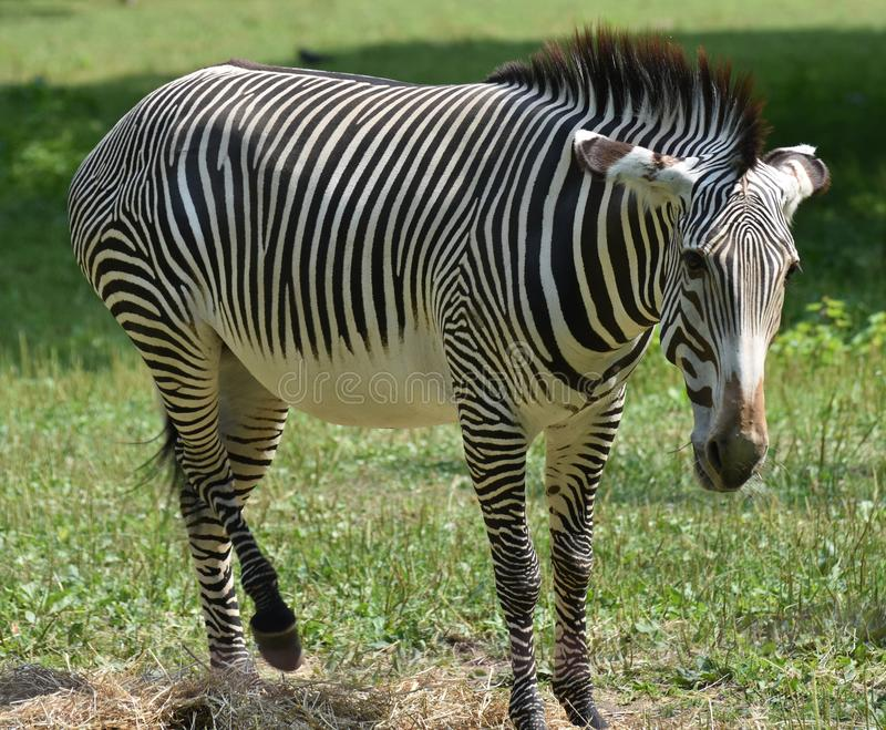 Stunning zebra lifting one of its back legs stock images