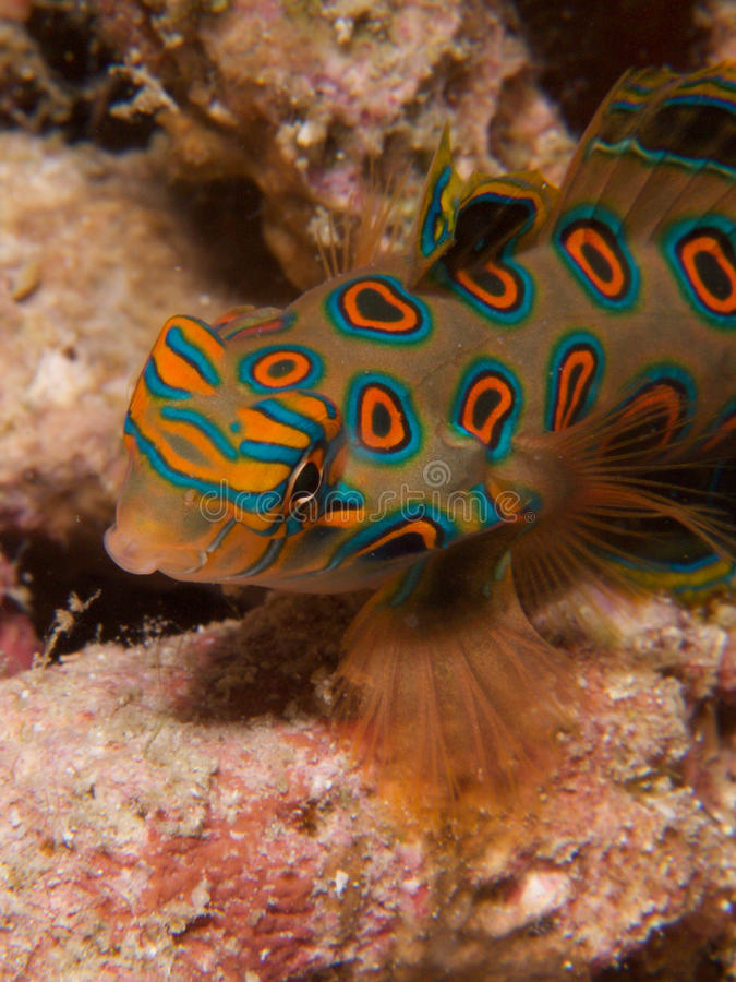 Stunningly beautiful picturesque dragonet at dusk in Raja Ampat, Indonesia. Stunningly beautiful picturesque dragonet look for mates at dusk, in Raja Ampat royalty free stock photography