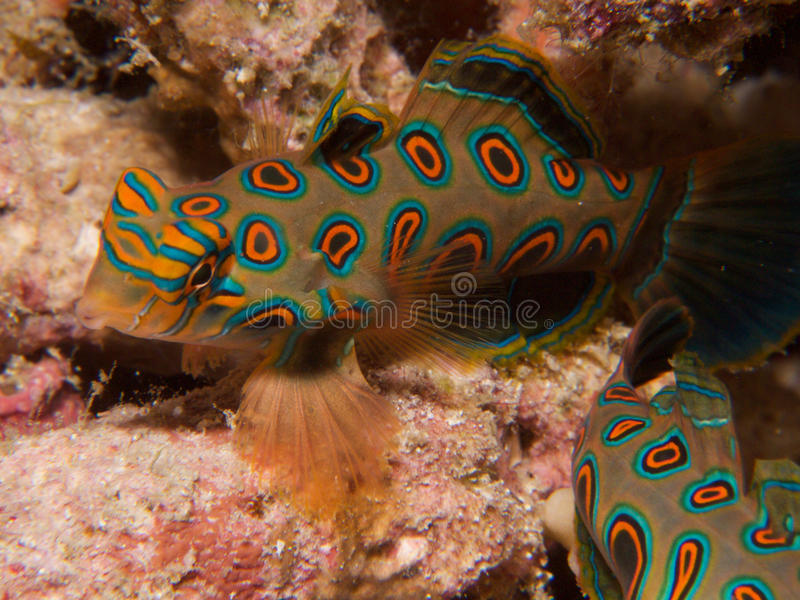 Stunningly beautiful picturesque dragonet at dusk in Raja Ampat, Indonesia. Stunningly beautiful picturesque dragonet look for mates at dusk, in Raja Ampat royalty free stock photo