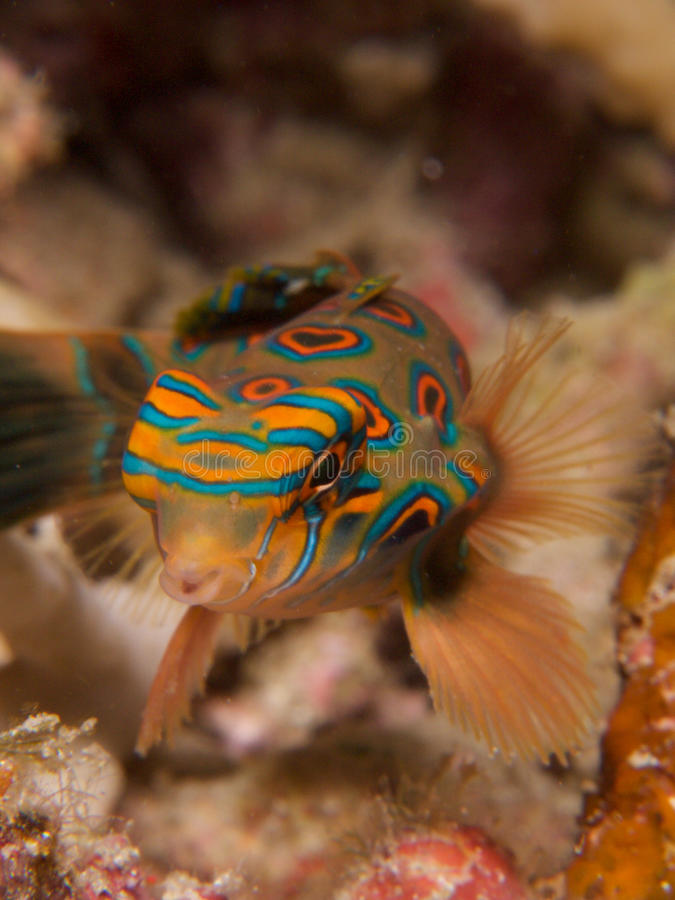 Stunningly beautiful picturesque dragonet at dusk in Raja Ampat, Indonesia. Stunningly beautiful picturesque dragonet look for mates at dusk, in Raja Ampat stock photography