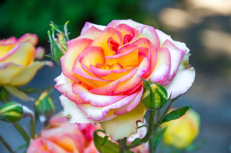 Stunningly beautiful roses royalty free stock photos