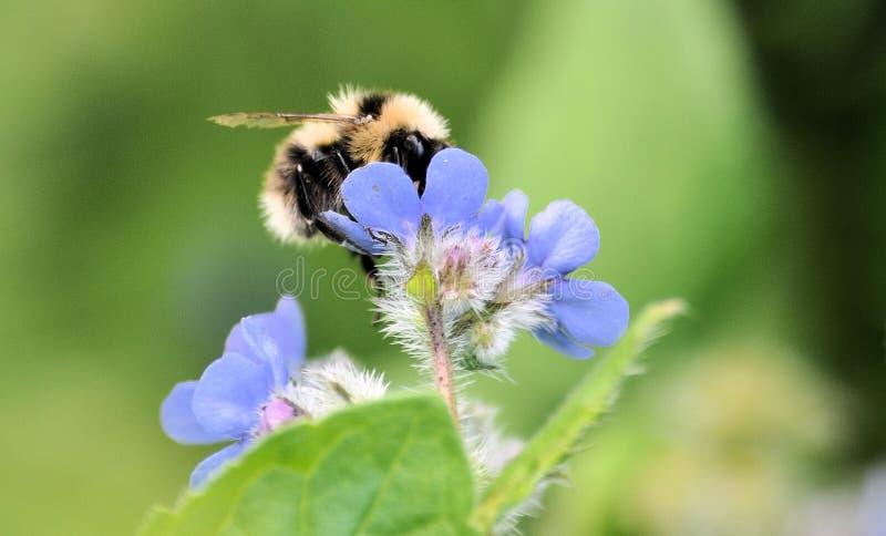 Stuntel bij op blauwe bloem stock fotografie