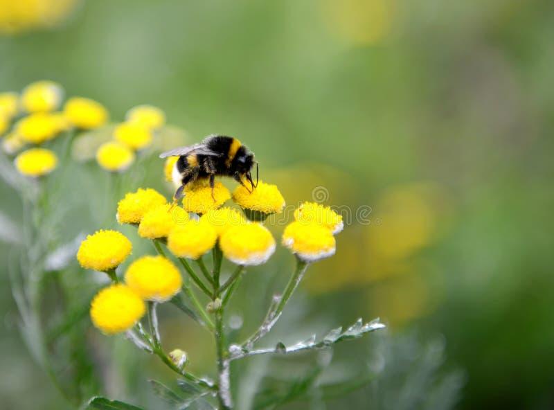 Stuntel Bij op een bloem stock afbeeldingen