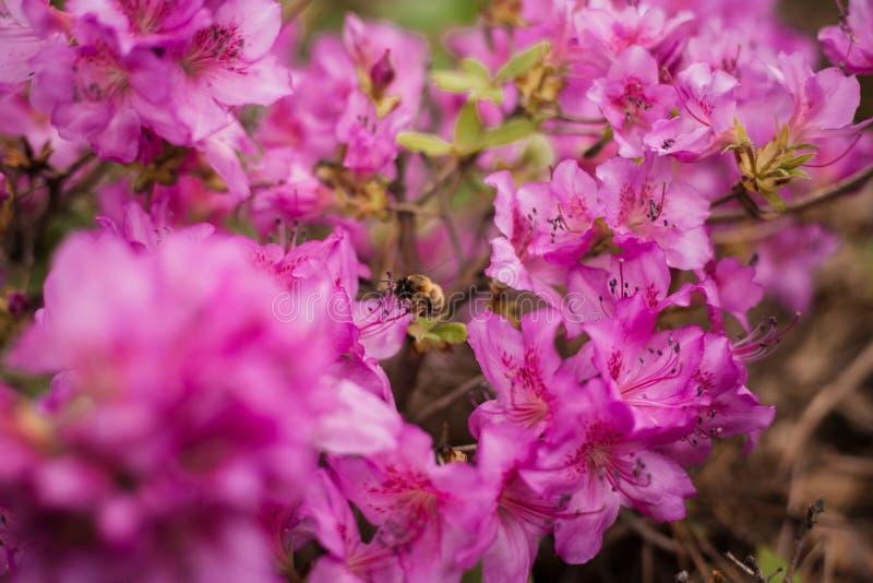 Stuntel bij op roze azalea stock afbeelding