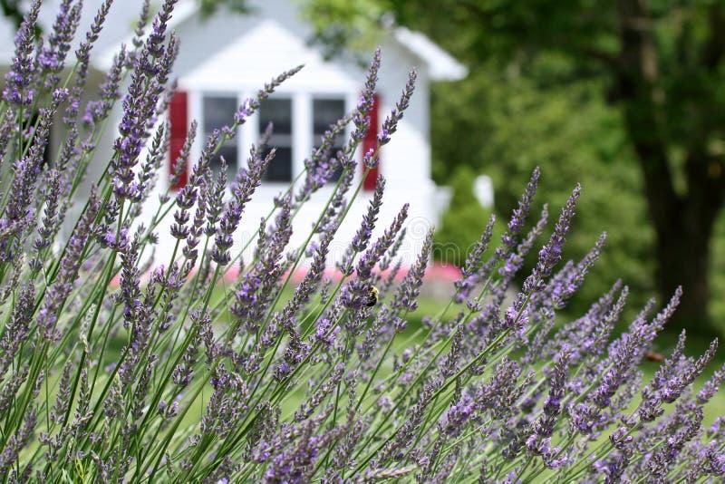 Stuntel Bijen in de Lavendel royalty-vrije stock afbeeldingen