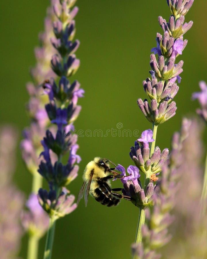 Stuntel Bijen in de Lavendel stock foto