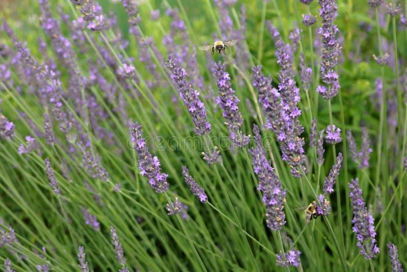 Stuntel Bijen in de Lavendel royalty-vrije stock foto's