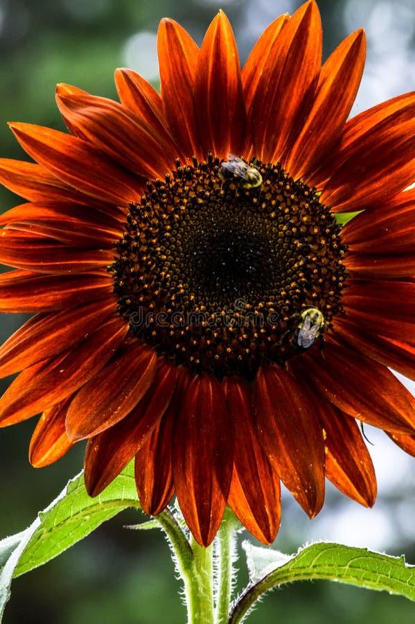 Stuntel bijen op een heldere rode zonnebloem stock afbeelding