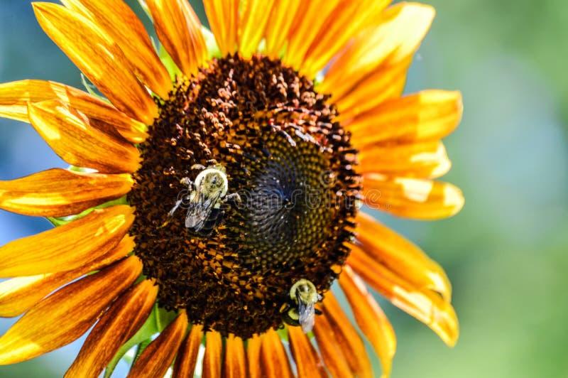 Stuntel bijen op een kleurrijke zonnebloem royalty-vrije stock afbeelding