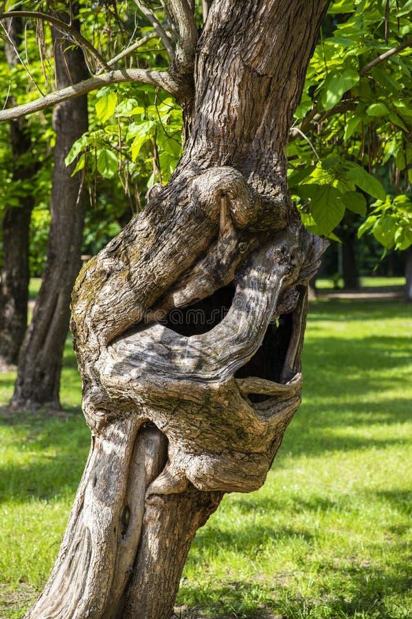 Stupéfier l'arbre incurvé impair et étrange sur le parc de lac Palic image libre de droits