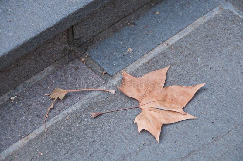 Stupad brunt torkade lönnlövet på ett stengolv royaltyfri fotografi