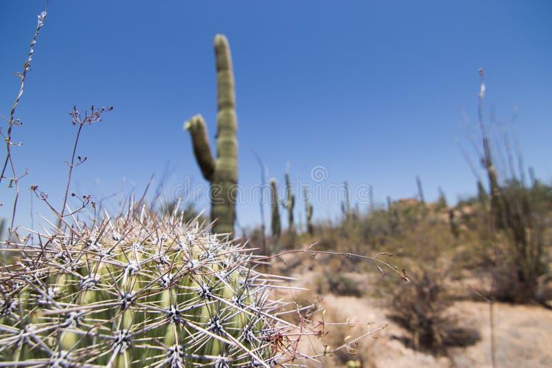 Stupad Saguaro royaltyfria foton