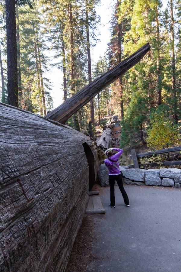 Stupad sequoia med en tunnel royaltyfri fotografi