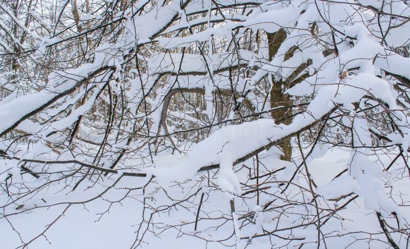 Stupad snö har vridna filialer av träd till jordningen royaltyfri bild
