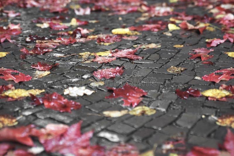 Stupade gula och röda sidor ligger på den våta stentrottoaren i regnet, bakgrunden arkivbild
