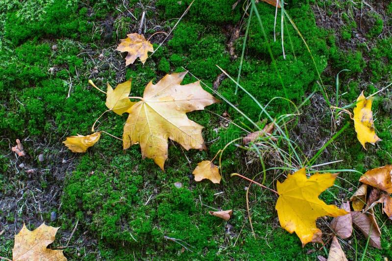 Stupade gulingsidor på grön mossa royaltyfri bild