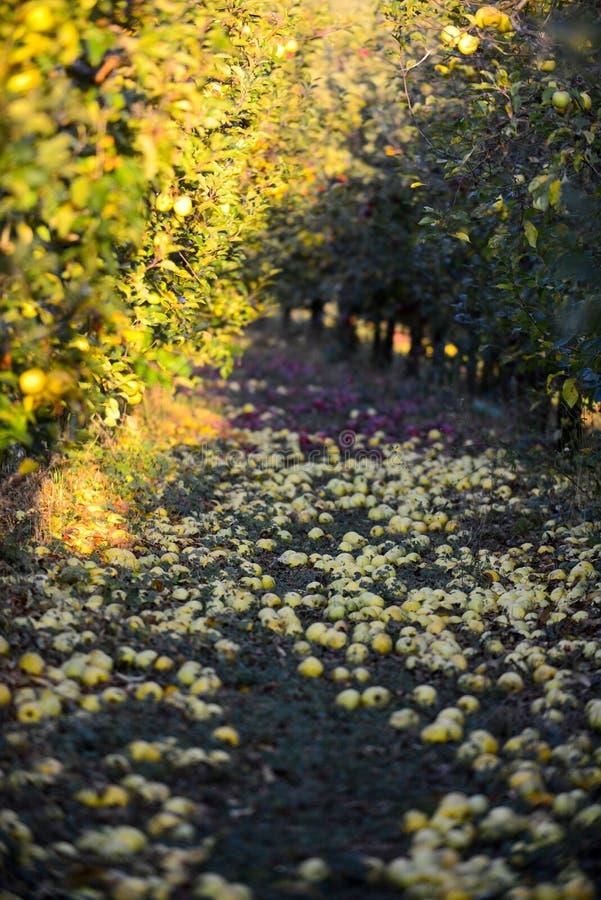stupade mogna äpplen i en fruktträdgård, grund dof royaltyfri bild
