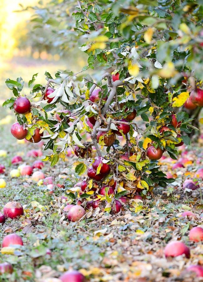 stupade mogna äpplen i en fruktträdgård, grund dof royaltyfri fotografi
