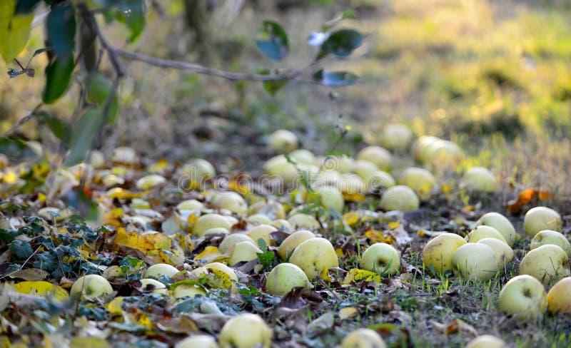 stupade mogna äpplen i en fruktträdgård, grund dof royaltyfri foto
