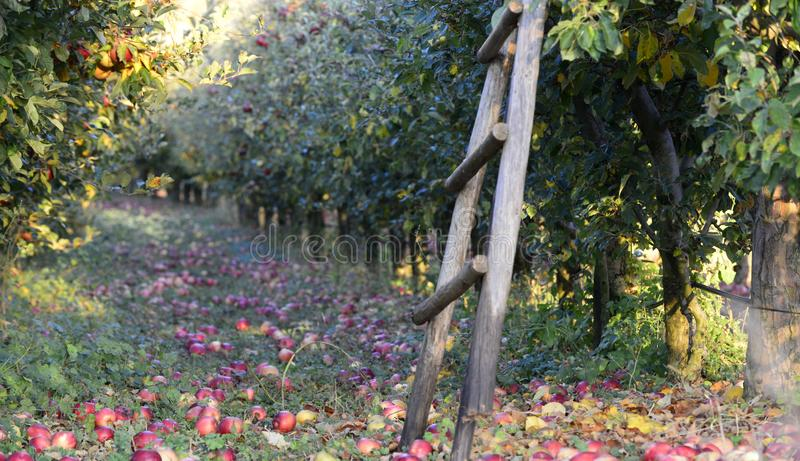 stupade mogna äpplen i en fruktträdgård, grund dof royaltyfria bilder