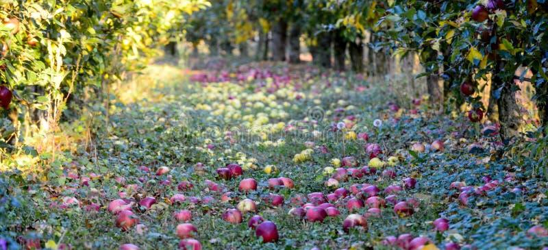 stupade mogna äpplen i en fruktträdgård, grund dof avbildar av arkivbilder