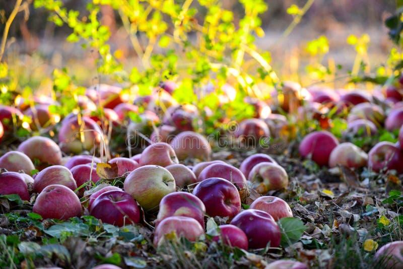 stupade mogna äpplen i en fruktträdgård, grund mage arkivbild