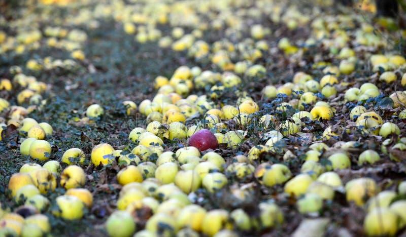 stupade mogna äpplen i en fruktträdgård, grund mage royaltyfria foton