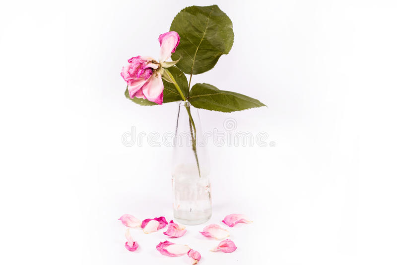 Stupade rosa färgroskronblad royaltyfri bild