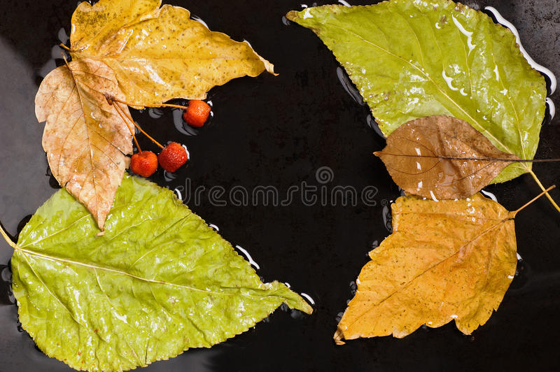 Stupade sidor för höst och lösa äpplen in i vatten på royaltyfri foto