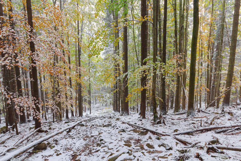 Stupade träd i en snöig skog arkivbild