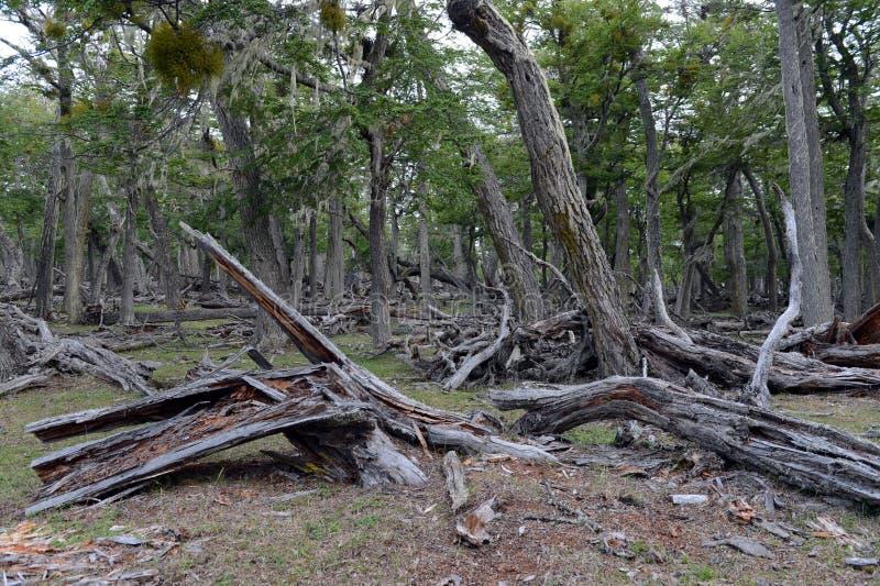 Stupade träd på kusten av Lago Blanco royaltyfri foto