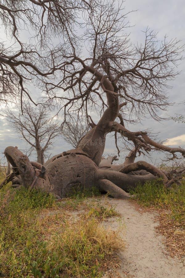 Stupat Baobabträd som uppåt växer arkivfoton