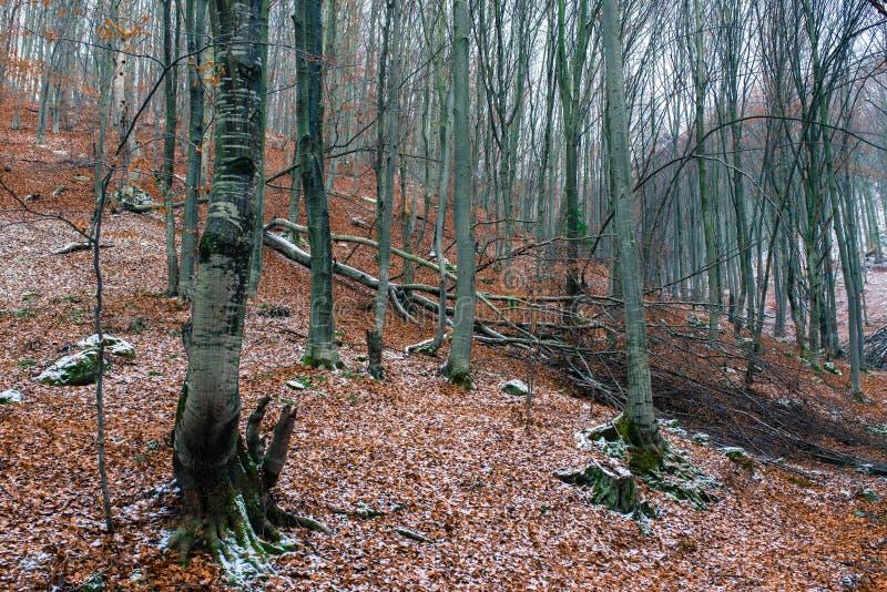 Stupat bokträdträd i lövfällande trän på vintertid arkivfoton
