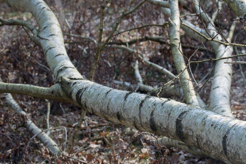 Stupat gammalt björkträd royaltyfria bilder