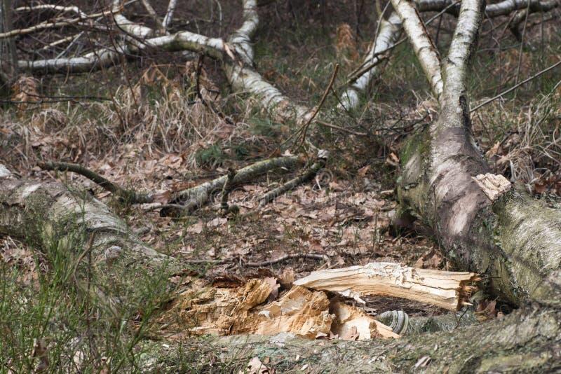 Stupat ruttet björkträd royaltyfri foto
