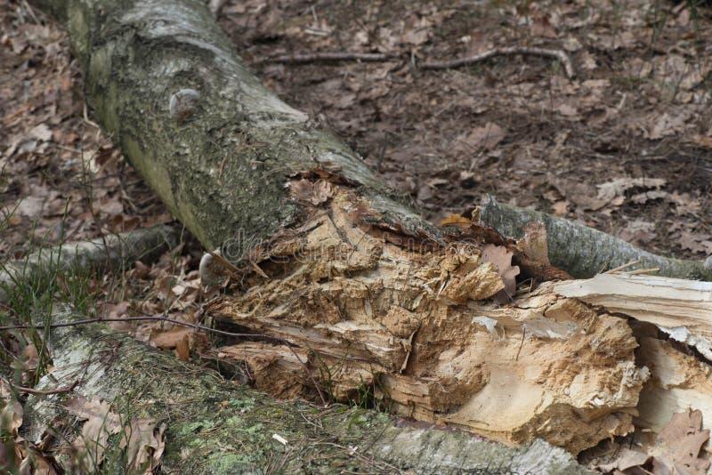 Stupat ruttet björkträd royaltyfri bild