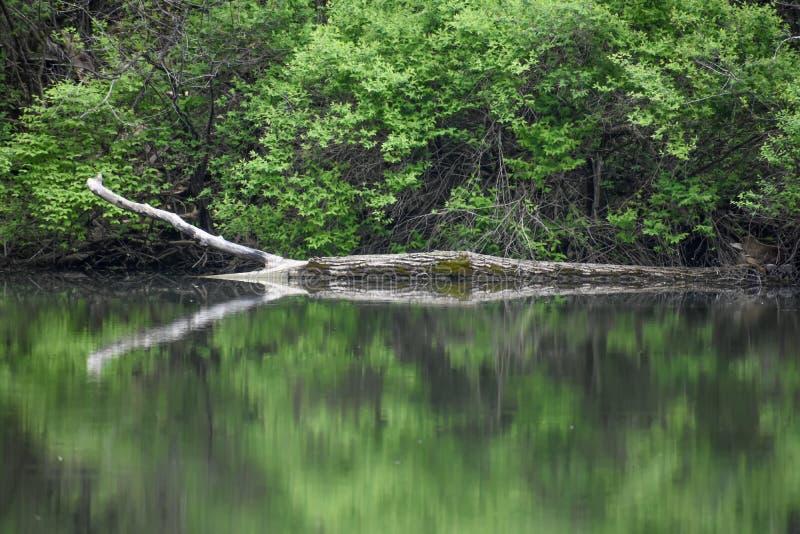Stupat träd i floden med reflexion royaltyfria foton