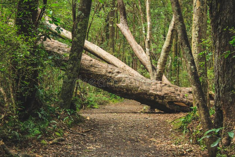 Stupat träd på en gå bana i Nya Zeeland royaltyfri bild