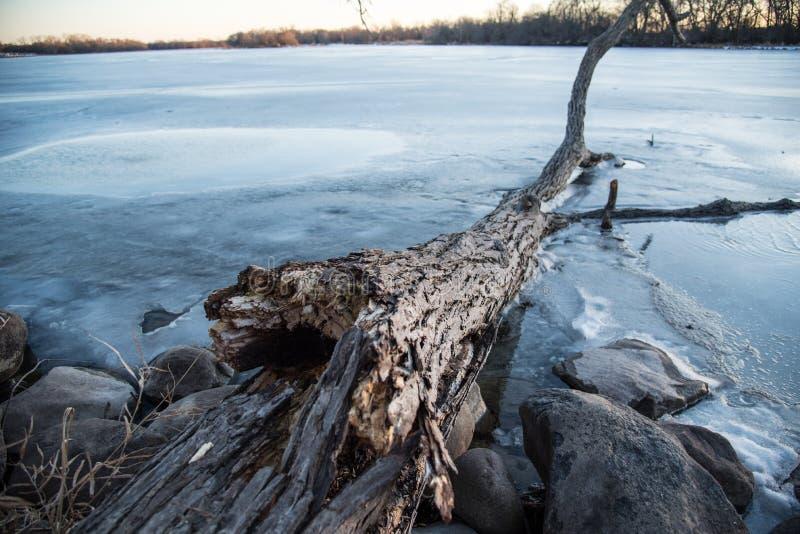 Stupat träd som frysas i is längs kust av sjön arkivfoton