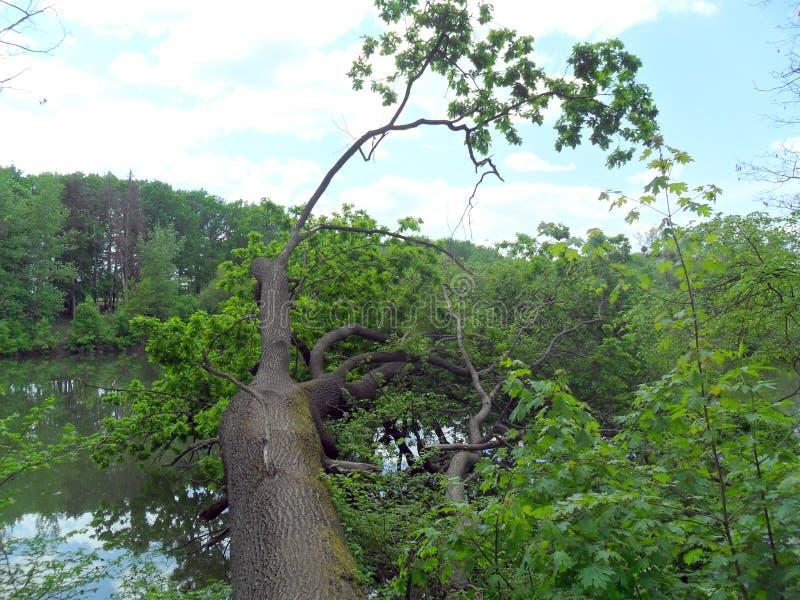 stupat träd vid floden fotografering för bildbyråer
