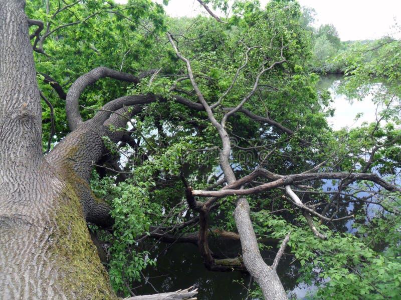 stupat träd vid floden arkivfoton