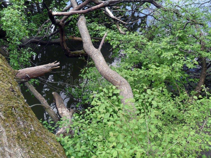 stupat träd vid floden royaltyfri bild