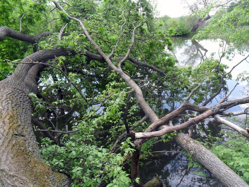stupat träd vid floden royaltyfri fotografi